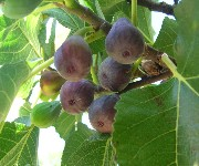 des figues photo